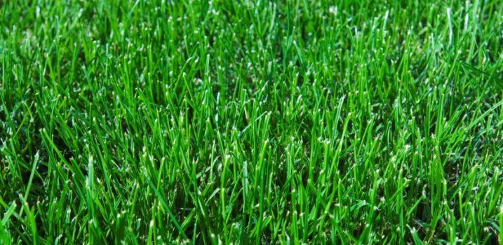 CYNODIN GULF GREE